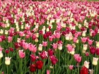 Ottawa Tulips Multi 2 Copyright Shelagh Donnelly