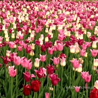 Ottawa Tulips Multi 2 Copyright Shelagh Donnelly